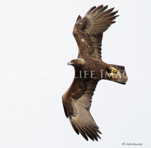 Golden Eagle Dive - The Speeds (up to 200mph) Make it Very Difficult to Capture