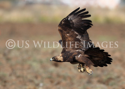 Catch of the Day.........Golden Eagle with Snake in Talons