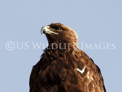 Golden Eagle Female Portrait from a Distance