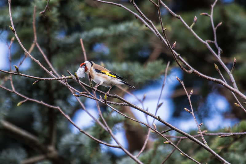 Male Goldfinch nest building with feathers