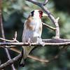 Goldfinch nesting in Barnby Dun