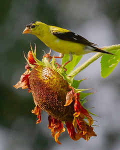 Goldfinch on Sunflower in the Fall