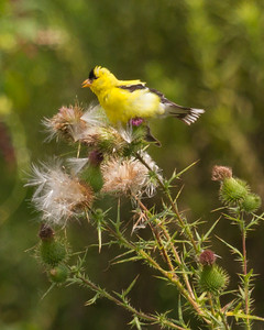 American Goldfinch with Thistle Seed