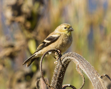 American Goldfinch at Red Hill State Park