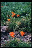 Poppies bloom. El Nino storms cause trees to fall closing the museum in Feb. 1998. Reported in the museum's Depot Dispatch newsletter, Vol 18, No. 1 (Spring 1998). acc2005.001.2145