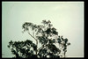Hawks perch near top of Eucalyptus tree behind Goleta Depot, 1995. acc2005.001.2078