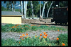 California Poppies bloom on the museum grounds, Feb. 1995. acc2005.001.2046