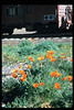 California Poppies bloom on the museum grounds, Feb. 1995. acc2005.001.2047