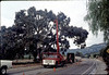 Trimming oak tree on Los Carneros Road, 11/17/1981. acc2005.001.0059
