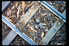 Killdeer eggs on miniature-train tracks, 4/1990. acc2005.001.1325