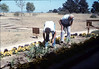 Anna Dato and George Adams tend to the flower bed, 6/1987 acc2005.001.0800