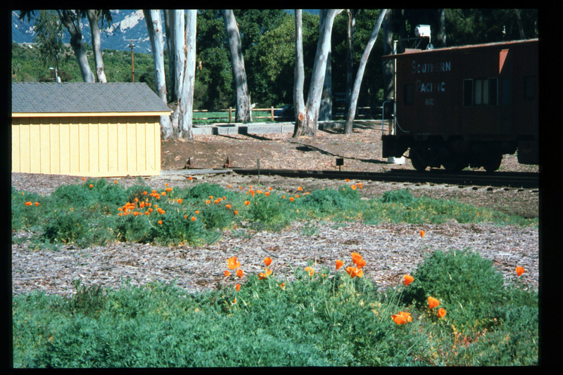 California Poppies bloom on the museum grounds, Feb. 1995. acc2005.001.2045