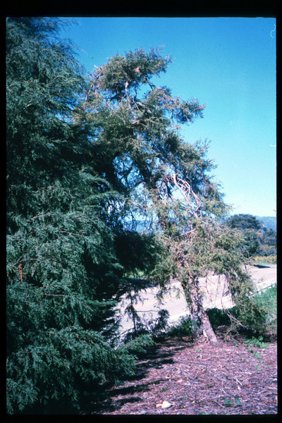 El Nino storms cause trees to fall closing the museum in Feb. 1998. Reported in the museum's Depot Dispatch newsletter, Vol 18, No. 1 (Spring 1998). acc2005.001.2148