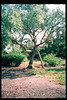El Nino storms cause trees to fall closing the museum in Feb. 1998. Reported in the museum's Depot Dispatch newsletter, Vol 18, No. 1 (Spring 1998). acc2005.001.2160