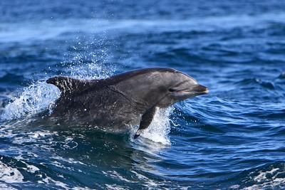 Bottlenose dolphin near Anacapa Island
