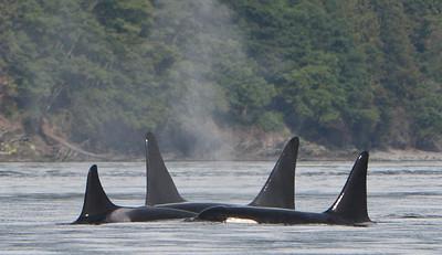 Orcas near San Juan Island, Washington