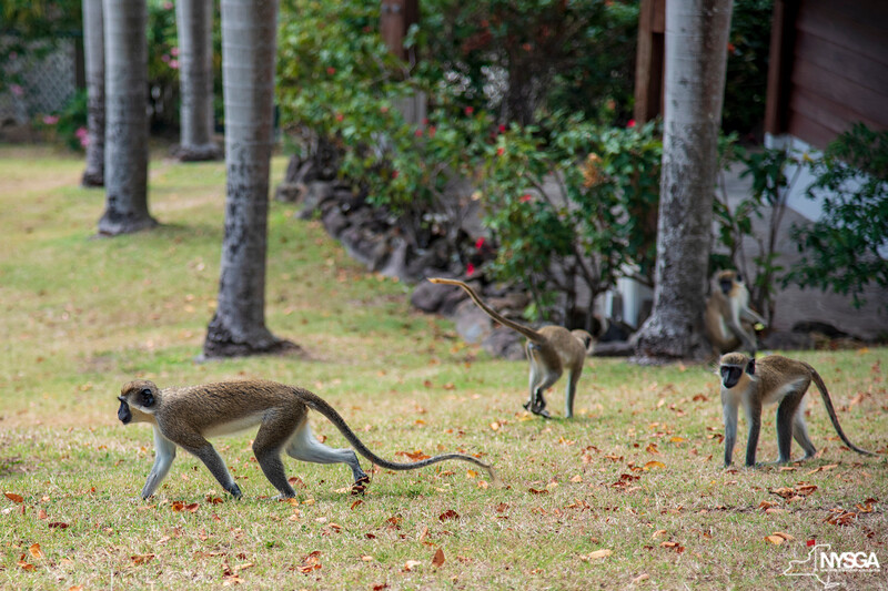 Native monkeys at Robert Trent Jones II Course at Four Seasons Resort on Nevis