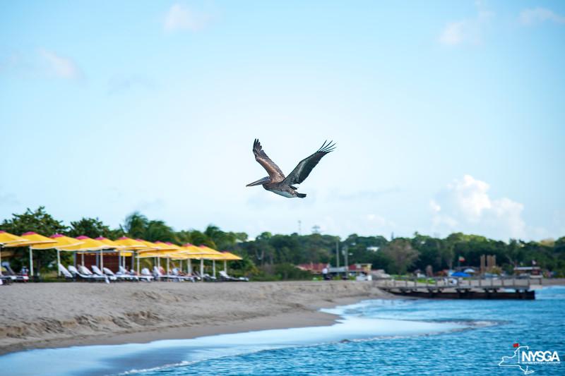 Plenty of pelicans around St. Kitts & Nevis