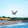Plenty of pelicans around St. Kitts & Nevis