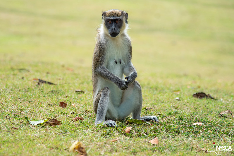 A closer look at one of the monkeys on St. Kitts & Nevis
