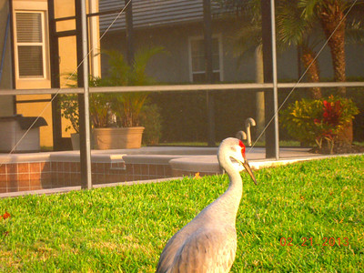 Sand Crane Bird at Kissimmee Bay GC