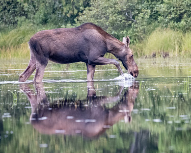 Moose Stolling By