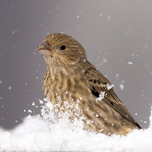 Female House Finch in the snow