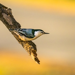 Nuthatch in the early morning sun