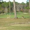 Gulf State Park Golf Course Deer
