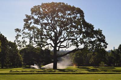 Majestic Oak Tree on the 18th green, Oakley Country Club