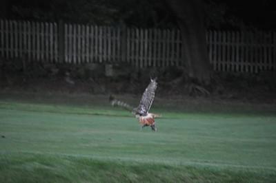 Chasing a hawk around Oakley.