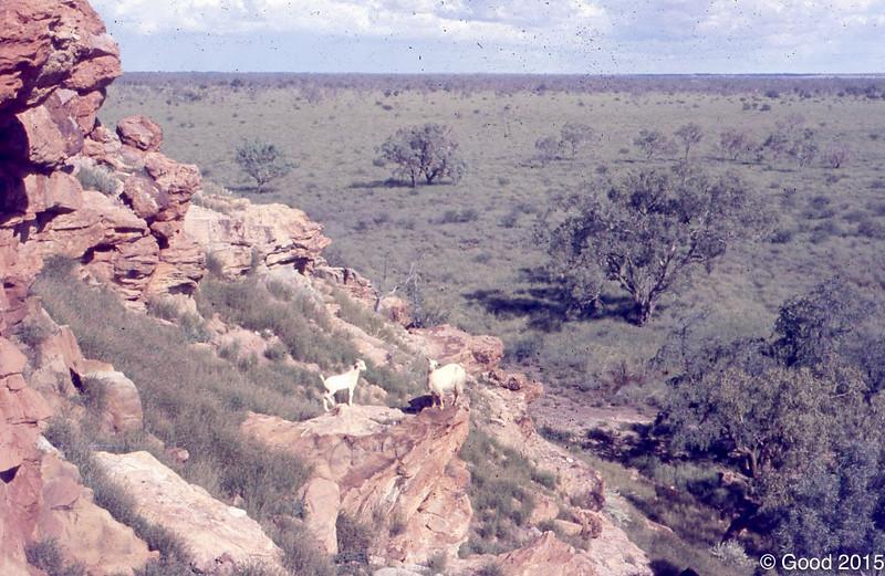Goats on ridge going down to Plum Plain