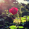 Red Rose in the Evening Sun