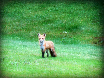 Red Fox in the Morning