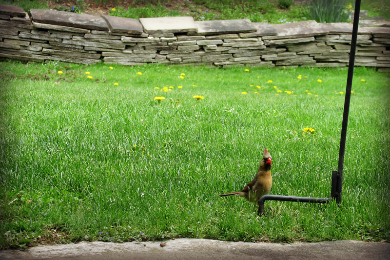 Female Cardinal Catches Photographer (2)
