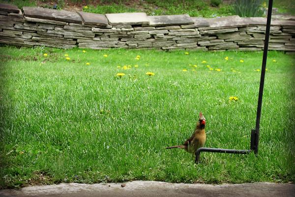 Female Cardinal Catches Photographer (2)