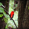 Morning Breakfast Scarlet Tanager Style