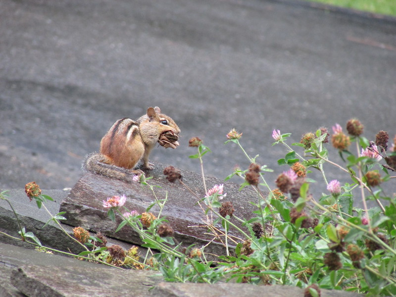 Chipmunk on Rock Eating Food
