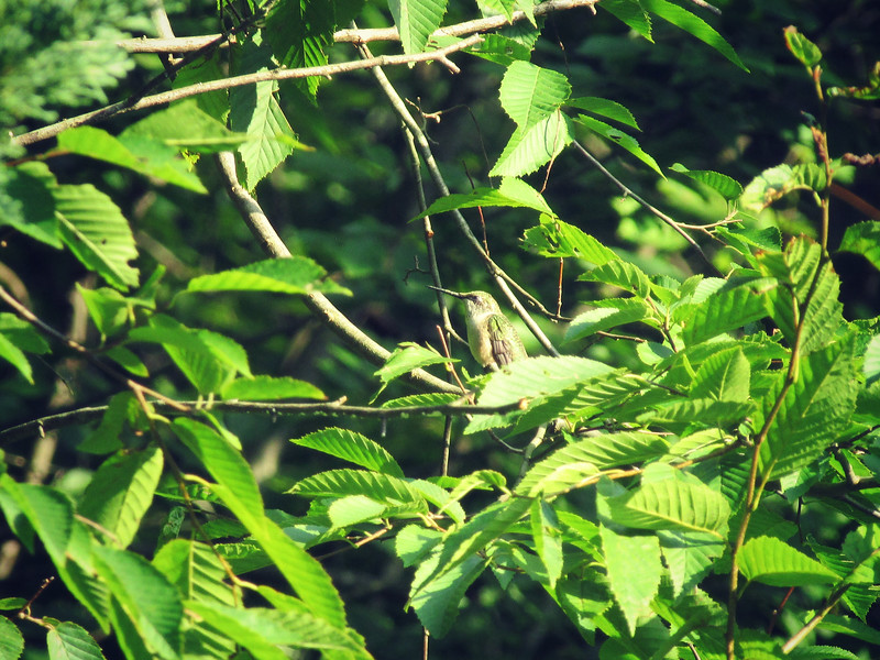 Hummingbird in the Evening Sun
