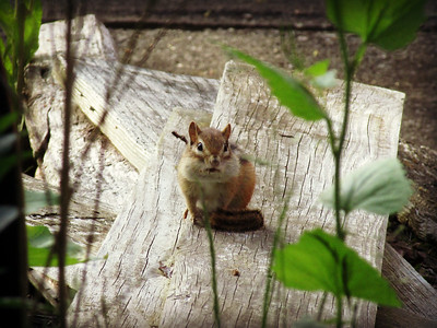 Chipmunk Still Posing with Suspiciously Large Cheeks