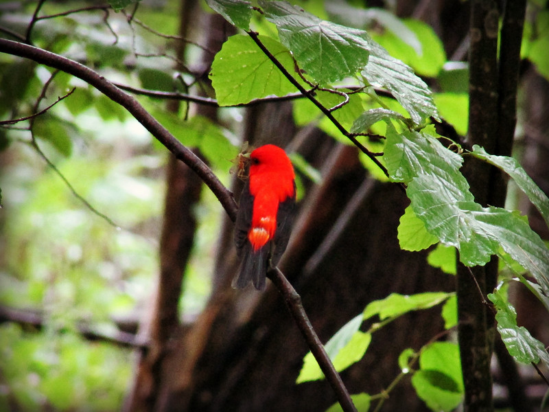 Scarlet Tanager Eating Breakfast