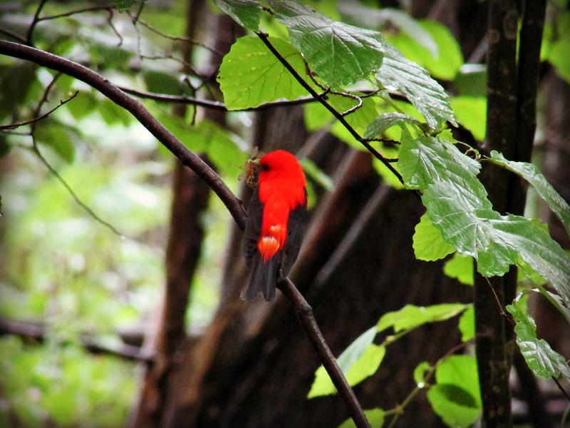 Scarlet Tanager Eating Breakfast