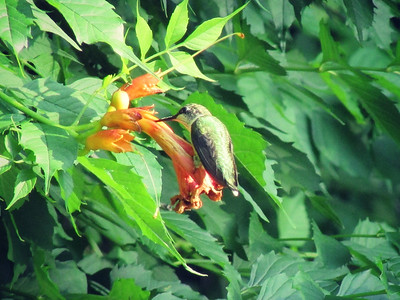 Hummingbird on Trumpet Vine