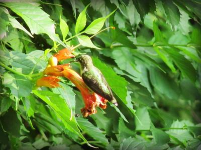 Hummingbird on Trumpet Vine