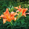 Daylilies in Coral and Red