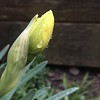 Yellow Daffodil Opening in Spring after Rain