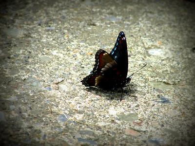 Black Red Brown Blue Butterfly