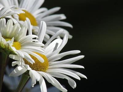 Daisies in Bloom