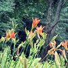 Daylilies in the Forest after the Rain