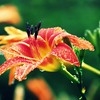 Daylily in Woods after Rain